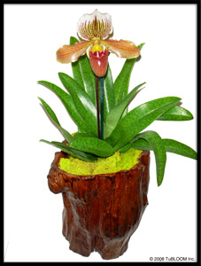 Chicago Floral Designs - Slipper Orchid in Trunk