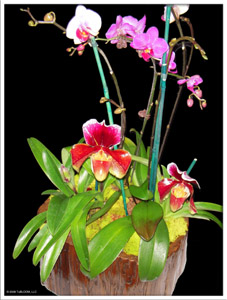 Chicago Floral Design - TuBloom Orchid Collection