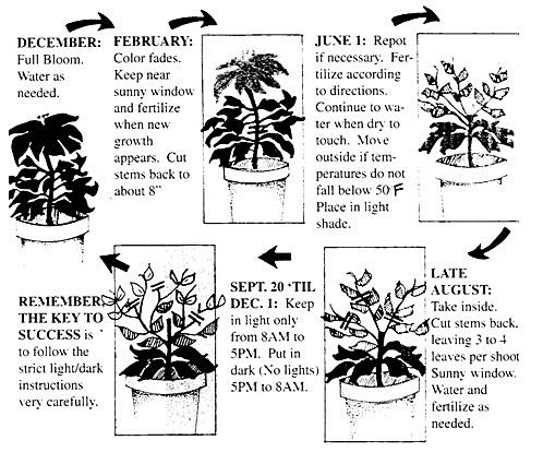 Blooms Reflowering Poinsettia Garden Care Tips Chicago