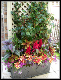 tu bloom container garden landscape accent with dazzling color in both flowers and foliage