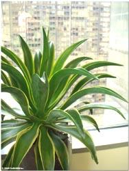 contemporary indoor agave on column succulent garden design